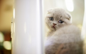 Scottish-Fold-Cute-Kitten
